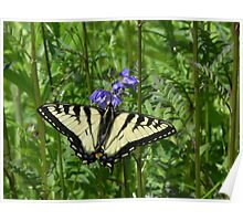 Female Eastern Tiger Swallowtail Butterfly Poster