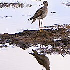 Lesser Yellowlegs by Yukondick