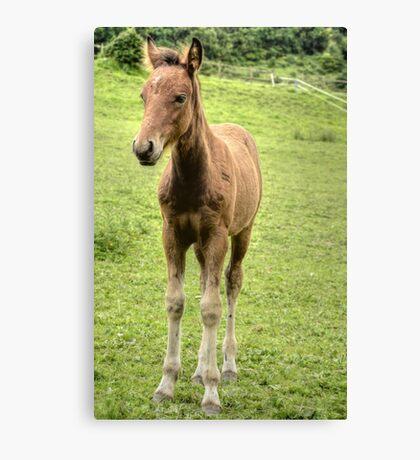Foal Canvas Print