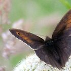 Dark Butterfly..............Dorset UK by lynn carter