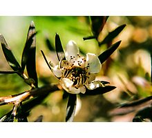 Leptospermum Flower Photographic Print