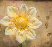 Yellow Dahlia on vintage parchment. by Kerry McQuaid