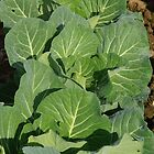 Cabbages by Jaycee2009