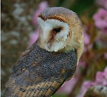 Head and face of an European Barn Owl by Dave  Knowles