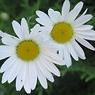 Twin Daisies by MaeBelle