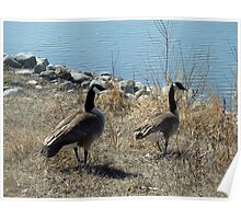 Pair of Canada Geese Walking to a Lake Poster