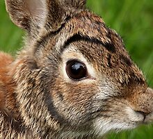 Eastern Cottontail Portrait by Debbie Oppermann
