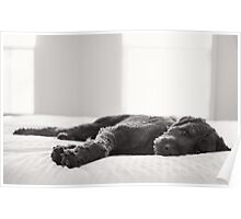 Labradoodle on the bed Poster