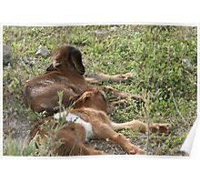 Two Baby Goats Napping Poster