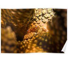Hard Coral Crab - Fijian Poster