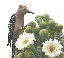 Gilla Woodpecker Feasting on Blooming Saguaro by Bryan Shane