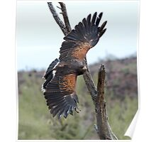 Harris Hawk Hunting Poster