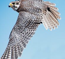 Praire Falcon Swooping by Bryan Shane