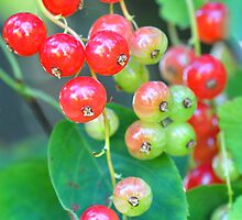Red currants by Heather Thorsen