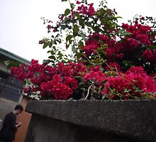 red flowers at old small lane by Mimi Huang