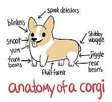 Anatomy of a Corgi Photographic Print