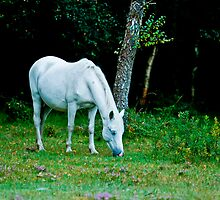 New Forest pony by Dave  Knowles