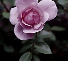 Pink Rose photo 2 by Brent Fennell