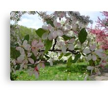 Pink and White Blossoms  Canvas Print