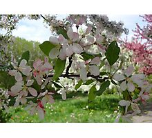 Pink and White Blossoms  Photographic Print