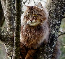 Maine Coon Cat Artwork by NaturePrints