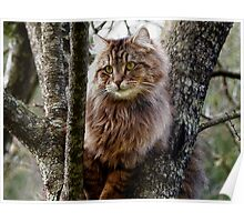 Maine Coon Cat Artwork Poster