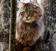 Maine Coon Cat Artwork by Val  Brackenridge