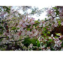 Pink and White Blossoms #2 Photographic Print