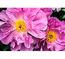 Two Pink Peonies Photographic Print