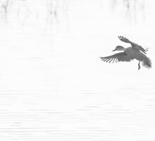 Landing duck at Beliar by nadine henley
