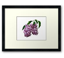 Pink Lilac Duo Framed Print