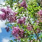 Lilacs and Clouds by Susan Savad
