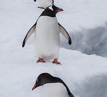 3 way Penguin by wimfotography