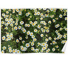 Daisies in a Field Poster
