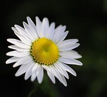 Daisy by lumiwa
