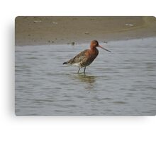 Black Tailed Godwit Canvas Print