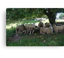 Irish Sheep Canvas Print