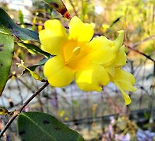 Yellow Carolina Jasmine by AeroChance