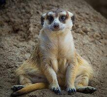 Meerkat by RandyHume