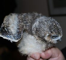 Three Week Old Burrowing Owl by AnnDixon