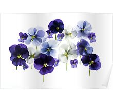 backlit pansy petals on a lightbox  Poster