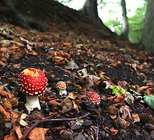 Fly agaric toadstool in beech woodland by turniptowers