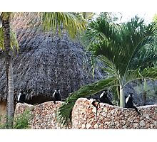Colobus Monkey resting on a wall Photographic Print