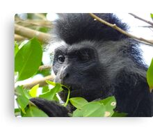 Colobus Monkey eating leaves in a tree close up Canvas Print