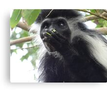 Colobus Monkey eating leaves in a tree 2 Canvas Print