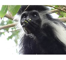 Colobus Monkey eating leaves in a tree 2 Photographic Print