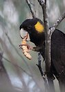 Black Cockatoo  by Donovan Wilson