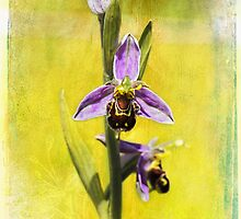 Bee Orchid by Amar-Images