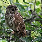 Barred Owl by Dennis Cheeseman