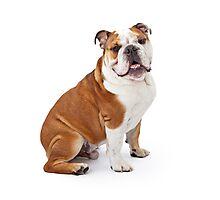 Lord Bulldog Photographic Print